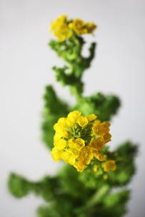 咲き始めた菜の花の写真素材 [FYI04613759]