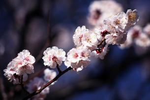 梅・薄桃色の花の写真素材 [FYI04613762]