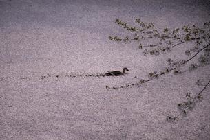 弘前城 外濠の花筏と鴨の写真素材 [FYI04615182]
