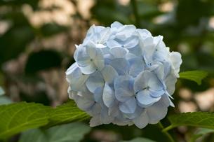 紫陽花の写真素材 [FYI04619738]
