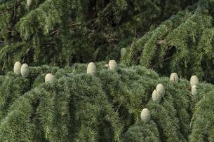 ヒマラヤ杉 杉ぼっくりの写真素材 [FYI04619739]