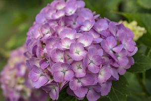 紫陽花 あじさいの写真素材 [FYI04619771]