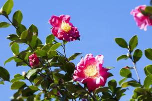 サザンカの花の写真素材 [FYI04620106]