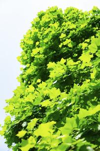 鮮やかなグリーンに透過したプラタナスの葉の写真素材 [FYI04620120]