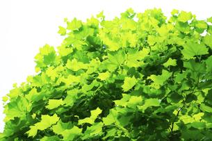 鮮やかなグリーンに透過したプラタナスの葉の写真素材 [FYI04620121]