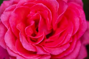 ピンクの薔薇の花の写真素材 [FYI04620122]