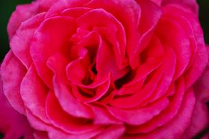 ピンクの薔薇の花の写真素材 [FYI04620123]