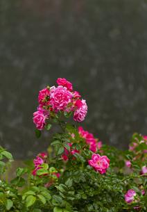 ピンク色のバラの花の写真素材 [FYI04620125]