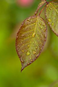 雨に濡れた薔薇の葉の写真素材 [FYI04620128]