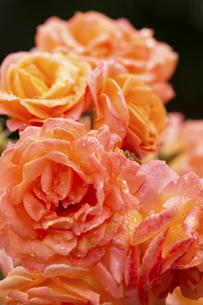 雨に濡れたオレンジ色のバラの花々の写真素材 [FYI04620131]