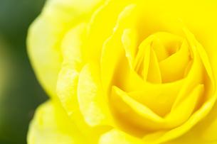 黄色い薔薇の花の写真素材 [FYI04620135]