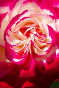 ピンクのバラの花 ツートンカラー アップの写真素材 [FYI04620137]