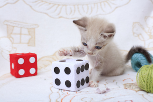 ソファの上で遊ぶ子猫の写真素材 [FYI04620332]