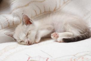 ソファで眠る子猫の写真素材 [FYI04620337]