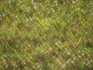 朝日に照らされた草の雫の写真素材 [FYI04620411]