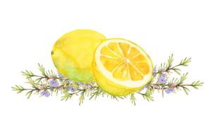 レモンとローズマリー水彩画のイラスト素材 [FYI04620469]