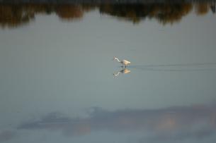 夕方の池を歩くシラサギの写真素材 [FYI04620486]
