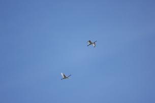 青空を飛ぶヘラサギの写真素材 [FYI04620500]