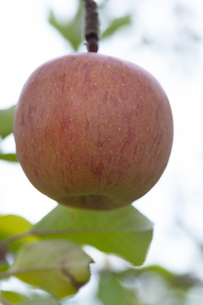 リンゴの写真素材 [FYI04620548]