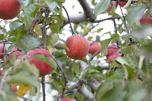 リンゴの写真素材 [FYI04620549]