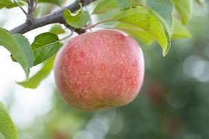 リンゴの写真素材 [FYI04620551]