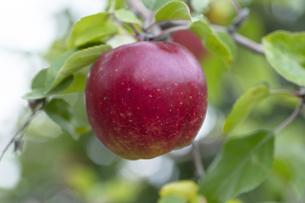 リンゴの写真素材 [FYI04620552]