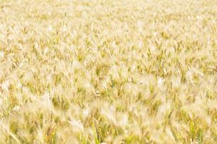 大麦畑の写真素材 [FYI04620632]