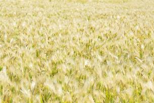 大麦畑の写真素材 [FYI04620634]