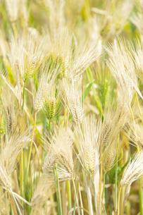 大麦の写真素材 [FYI04620635]