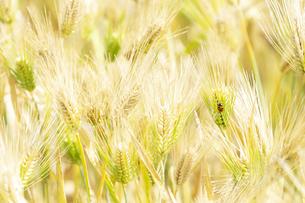 大麦畑にてんとう虫の写真素材 [FYI04620636]