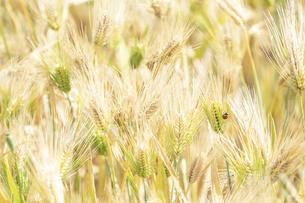 大麦畑にてんとう虫の写真素材 [FYI04620638]