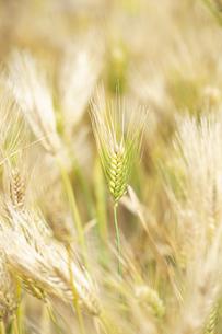 大麦の穂の写真素材 [FYI04620640]