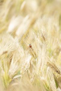 大麦畑にてんとう虫の写真素材 [FYI04620641]