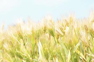 大麦の写真素材 [FYI04620668]