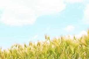 大麦畑の写真素材 [FYI04620670]