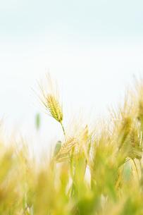 大麦の穂の写真素材 [FYI04620673]