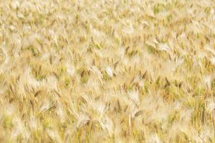 大麦畑の写真素材 [FYI04620674]