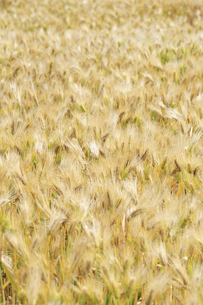 大麦畑の写真素材 [FYI04620675]