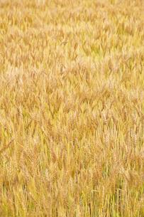 小麦畑の写真素材 [FYI04620681]