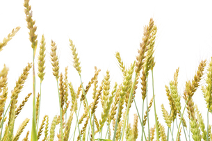 風に揺れる小麦の穂の写真素材 [FYI04620687]