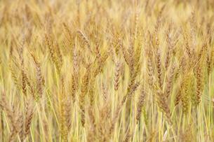 小麦の写真素材 [FYI04620688]