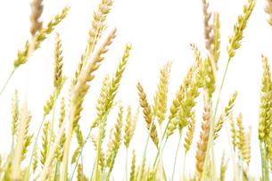 風に揺れる小麦の穂の写真素材 [FYI04620690]