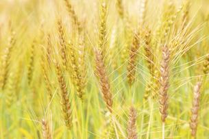 小麦の写真素材 [FYI04620691]