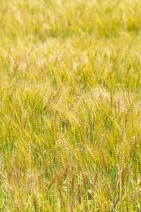 小麦畑の写真素材 [FYI04620694]