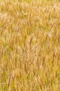 小麦畑の写真素材 [FYI04620698]