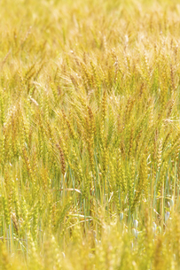 小麦畑の写真素材 [FYI04620700]