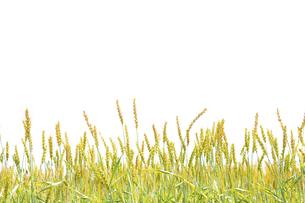 小麦の写真素材 [FYI04620701]