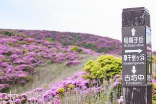 ミヤマキリシマ 烏帽子岳 熊本県阿蘇市の写真素材 [FYI04620841]