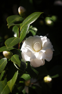 椿・純白の花の写真素材 [FYI04620939]