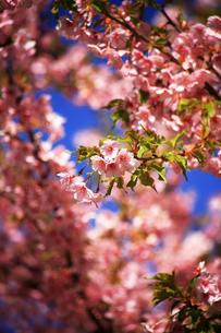 咲き揃った河津桜の花の写真素材 [FYI04620947]
